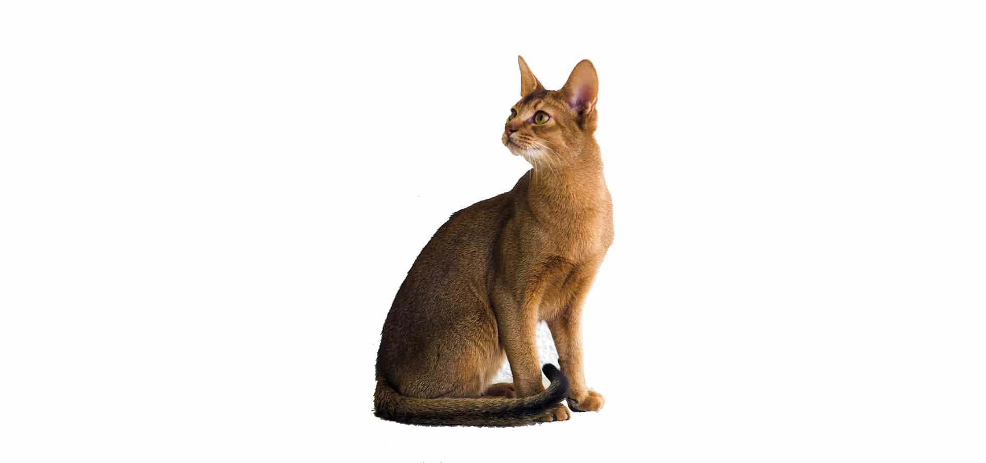 http://petinsuranceu.com/wp-content/uploads/2015/11/Abyssinian-Cat-Insurance.jpg