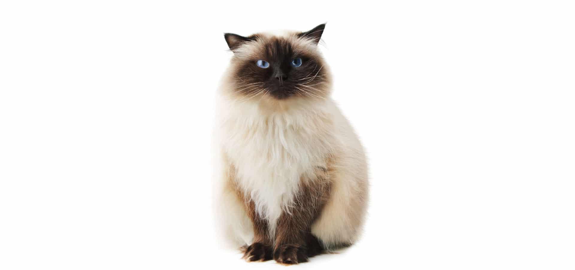 Himlayan-Cat-Insurance