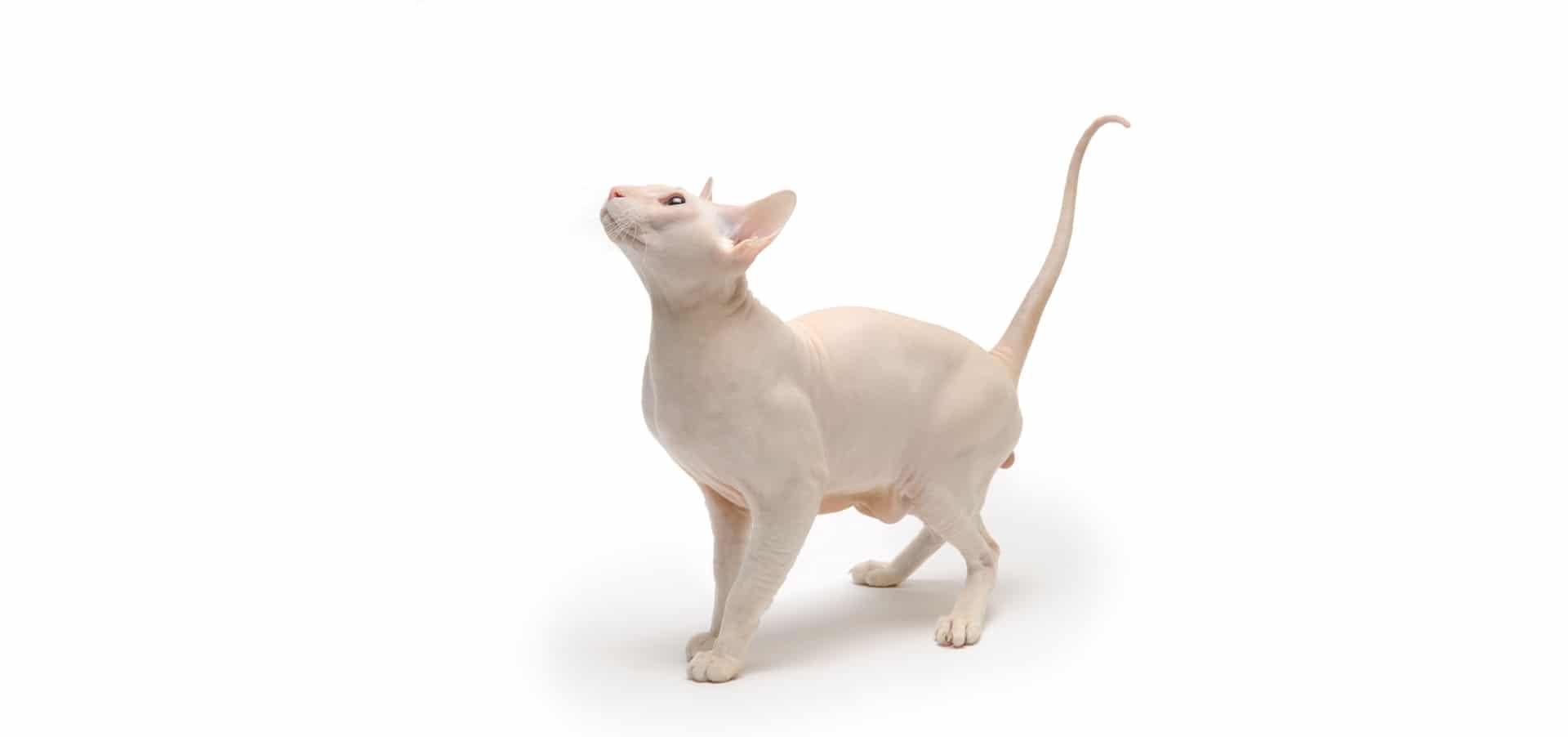 Peterbald-cat-Insurance