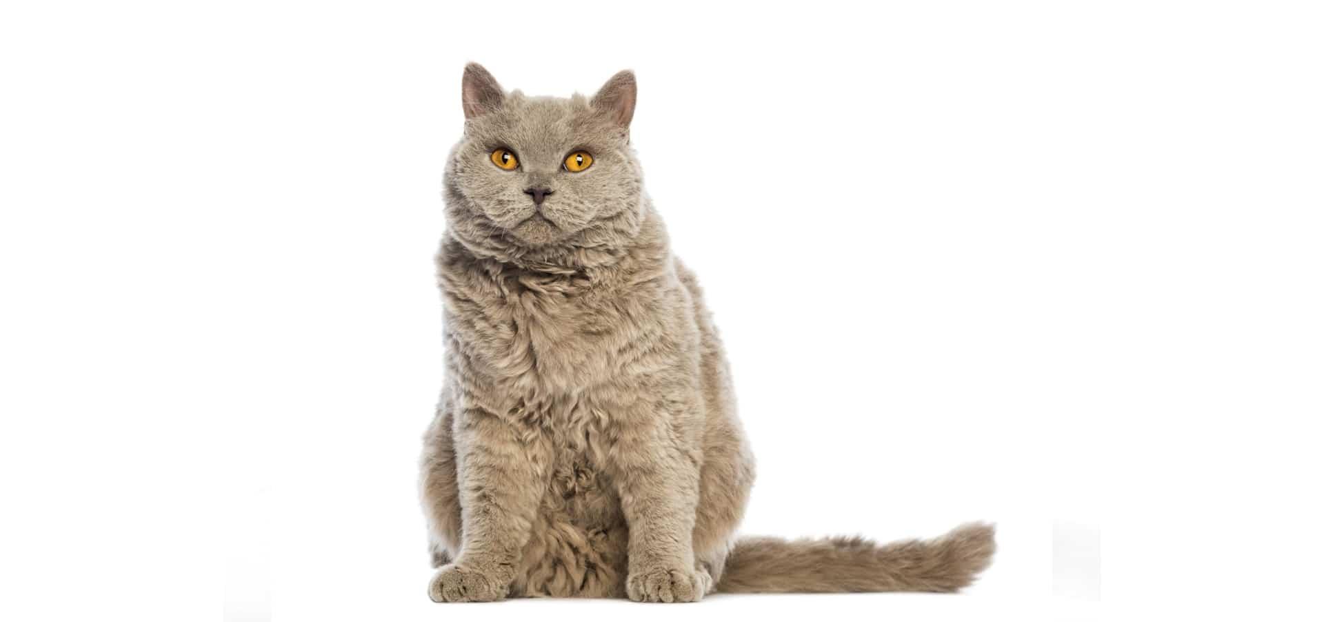 Selkirk-Rex-Cat