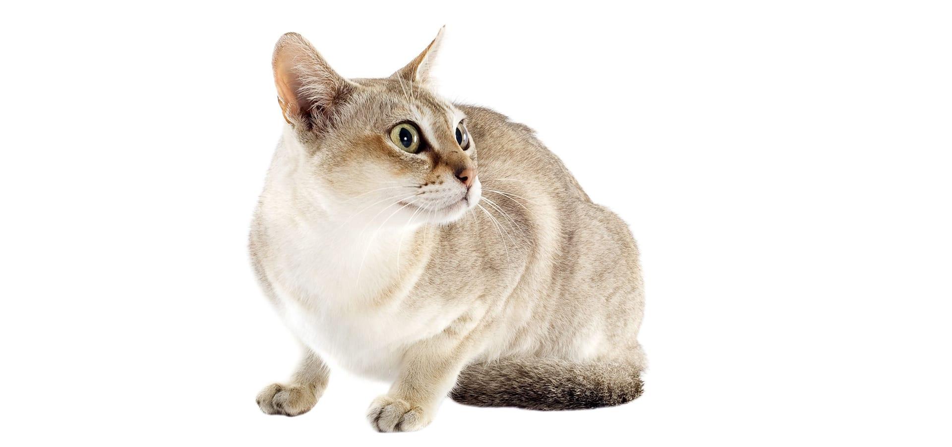 Singapura-Cat-Insurance