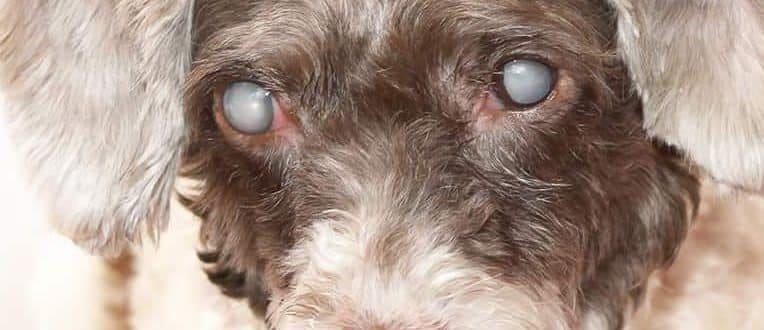 cataracts in dogs