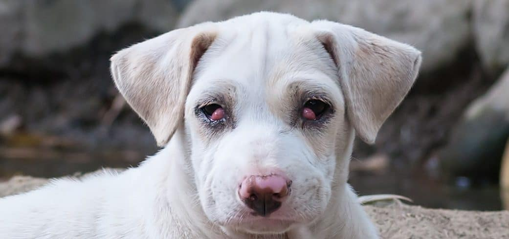 Is Cherry Eye In Dogs Contagious