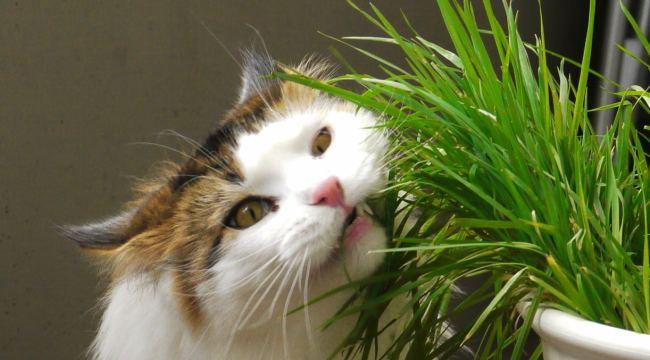 Cat_Eating_Catgrass