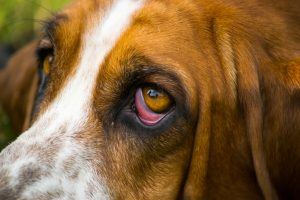 Ectropion in Dogs   How to Care For Your Dog's Droopy Eyelid