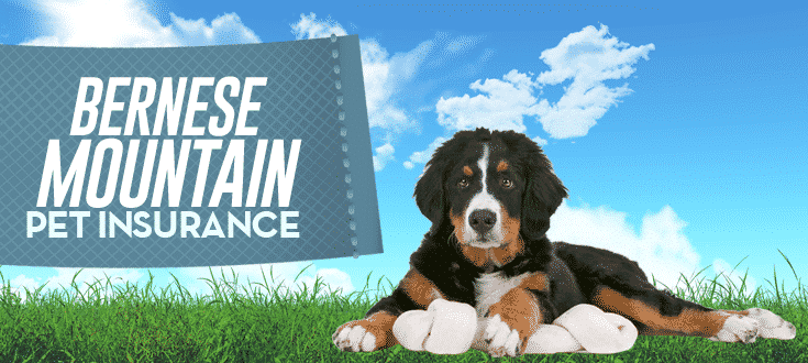 bernese mountain pet insurance