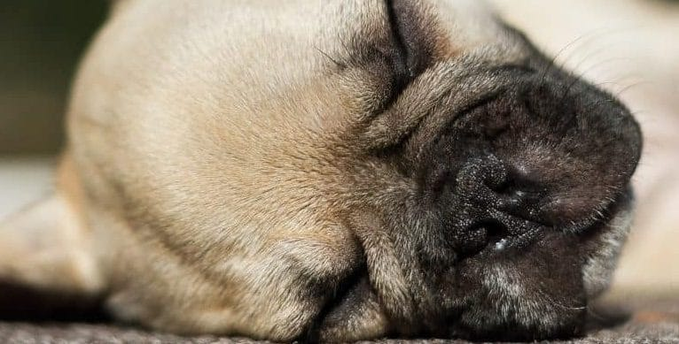 french bulldog common health concerns