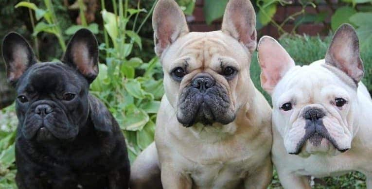 french bulldog behavior french bulldog breed information 803