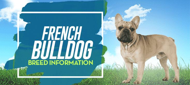 french bulldog breed information