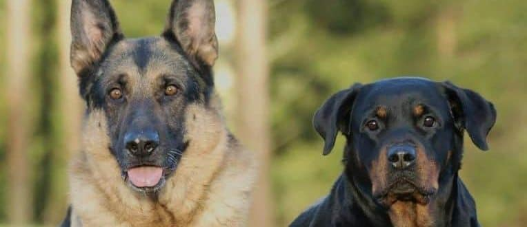 aortic stenosis dogs