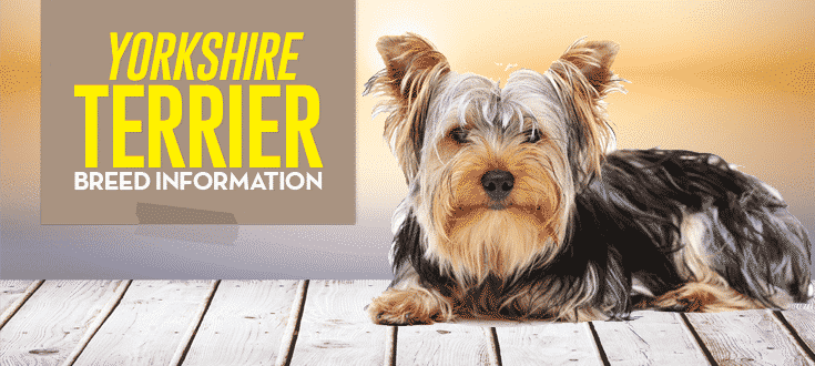 yorkshire terrier breed information