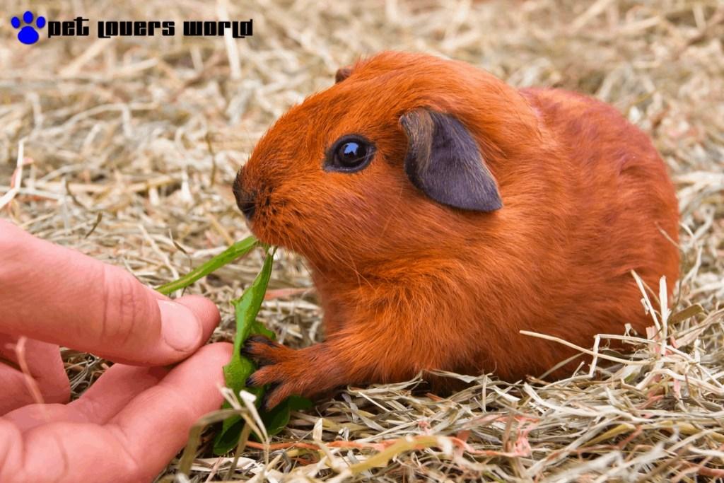 Best Pellet Food For Guinea Pigs Reviews