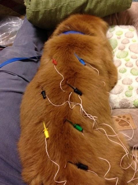 electrostimulation for dogs, patrick mahaney, holistic medicine for pets