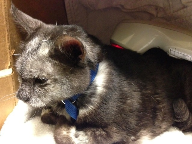 laser treatment for pain, laser treatment for pets, holistic medicine for pets, patrick mahaney, acupuncture for cats