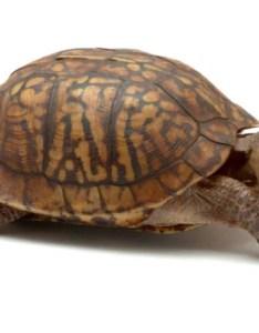 Box turtle terrapene carolina also common petmd rh