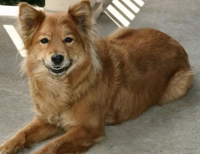 Cute Chow Chow Wallpapers Finnish Spitz Dogs Finnish Spitz Dog Breed Info