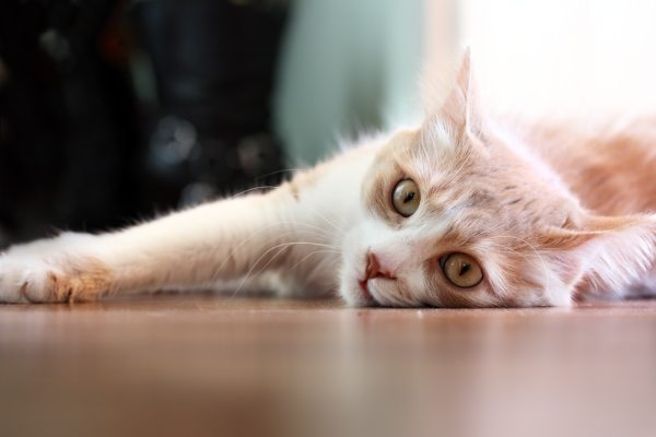Stomatitis in Cats Inflammation of the Soft Tissues in a Cat39s Mouth petMD