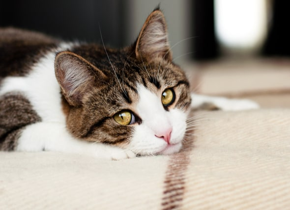 How to Relieve Cat Stomach Issues | PetMD