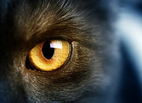 Corneal Inflammation Nonulcerative Keratitis In Cats PetMD