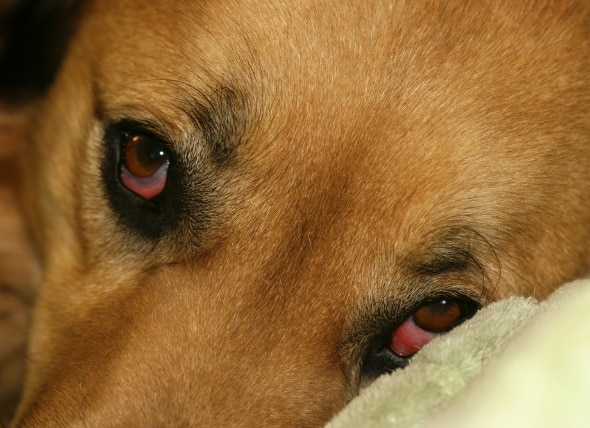 Droopy Eye in Dogs   petMD