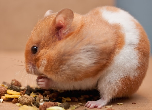 How Much Does a Hamster Cost  petMD