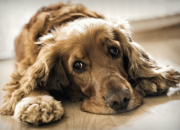 Inflammation of Body Blood Vessels in Dogs  petMD