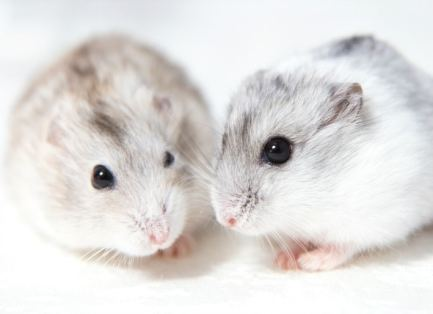 Image result for hamster as a pet