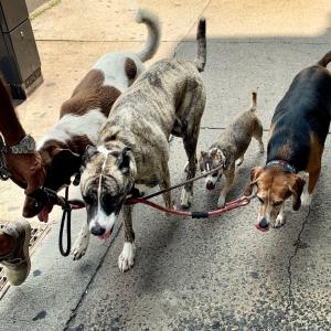 Dog walker taking dogs for a walk.