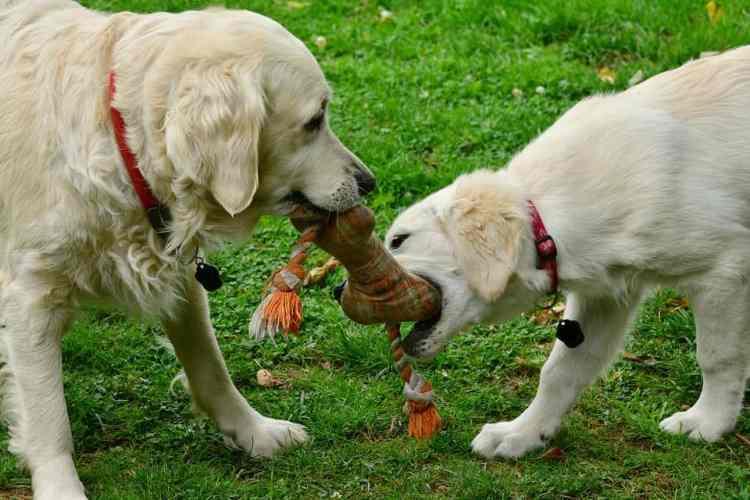 Hunde spielen mit Hundespielzeug