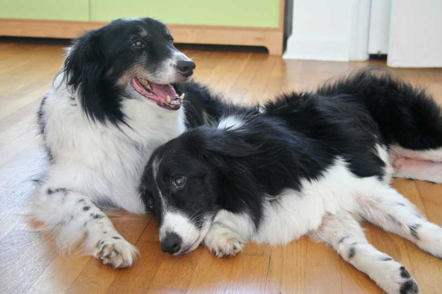 border-collie-3