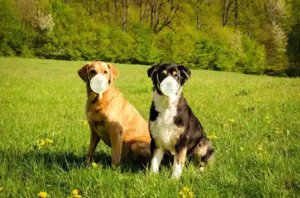 Koronavírus kutya