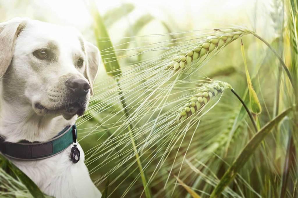 Toklász a kutyában: A nyár egyik nagy veszélyforrása.