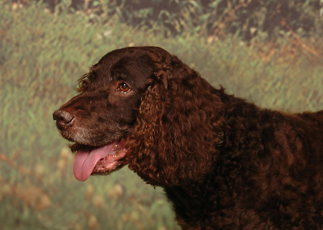 American Water Spaniel Breed Guide  Learn about the American Water Spaniel