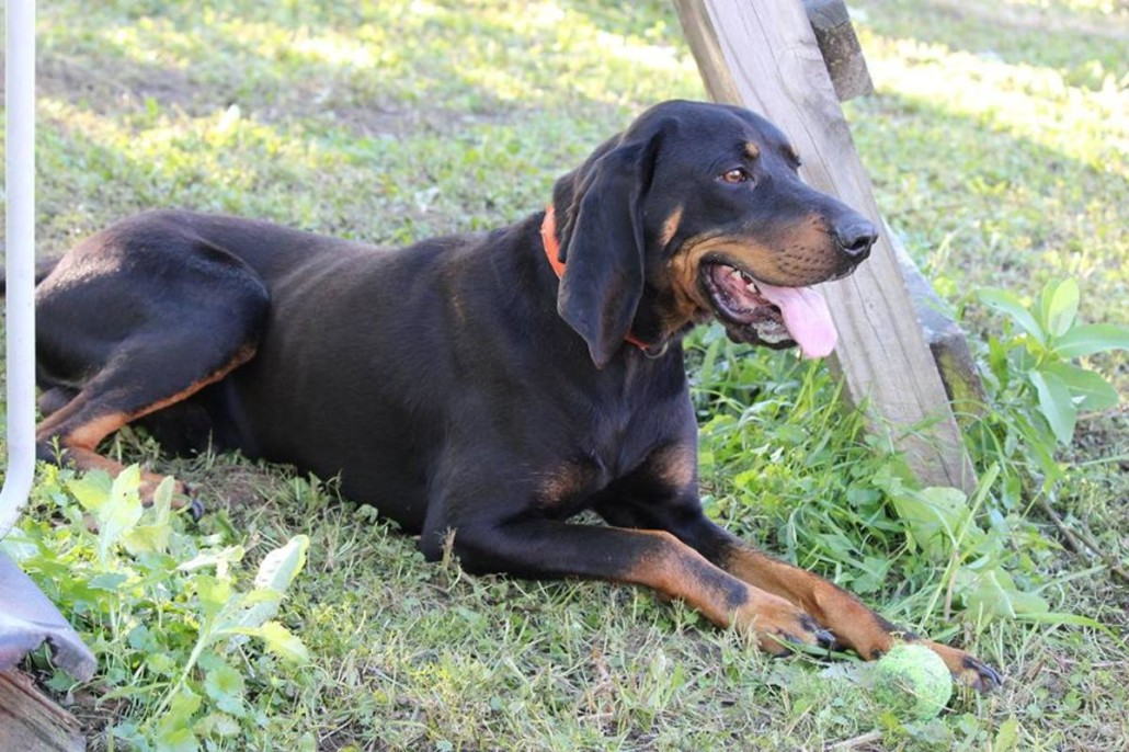 Black and Tan Coonhound Breed Guide  Learn about the Black and Tan Coonhound