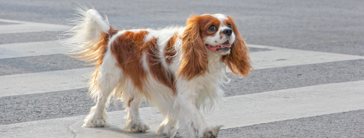 Cavalier King Charles Spaniel Breed Guide  Learn about