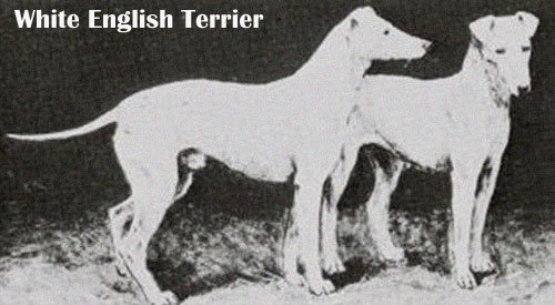 English White Terrier Breed Guide  Learn about the English White Terrier