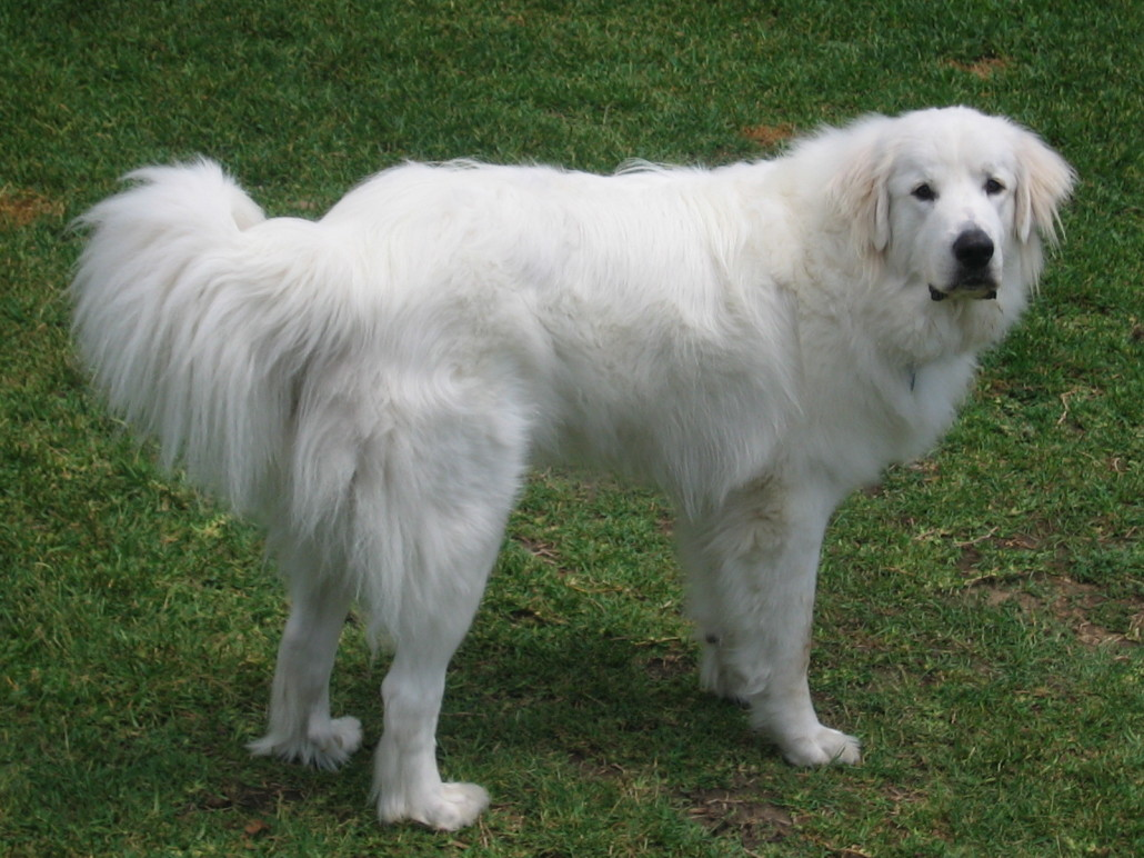 dog breed gallery great pyrenees dogs breeds