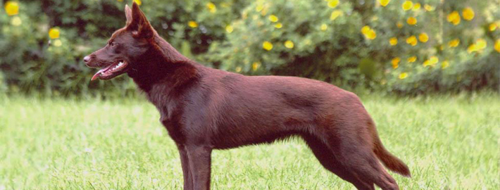 Australian Kelpie Breed Guide Learn About The Australian