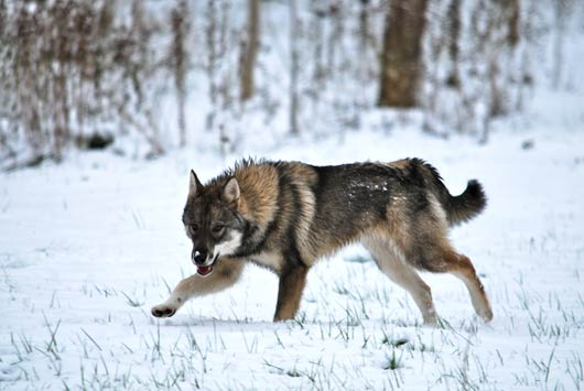 West Siberian Laika Breed Guide  Learn about the West Siberian Laika