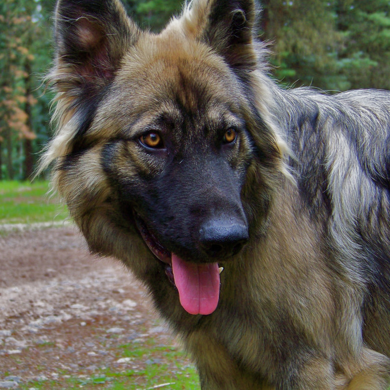 American Alsatian Breed Guide  Learn about the American Alsatian