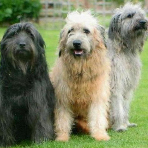 Catalan Sheepdog Breed Guide  Learn about the Catalan Sheepdog