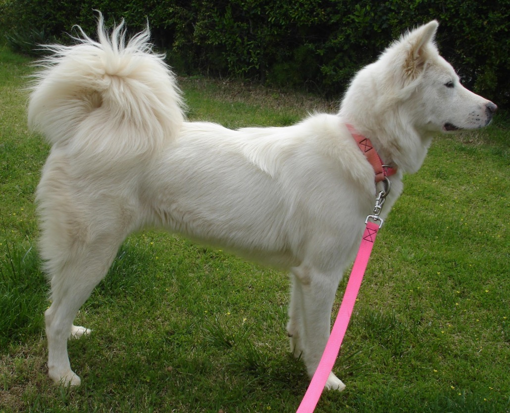 Pungsan Dog Breed Guide Learn About The Pungsan Dog
