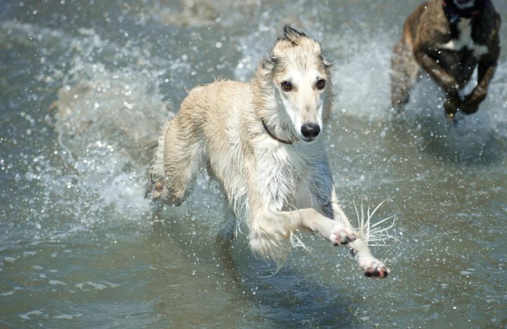 Silken Windhound Breed Guide  Learn about the Silken