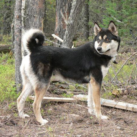 East Siberian Laika Breed Guide  Learn about the East