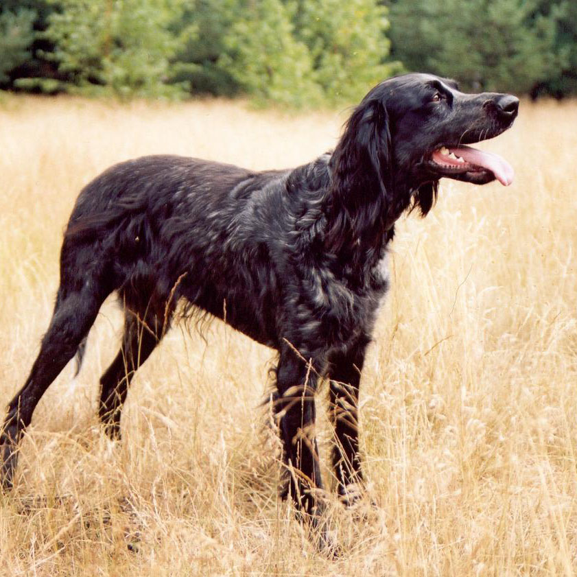 Picardy Spaniel Breed Guide  Learn about the Picardy Spaniel