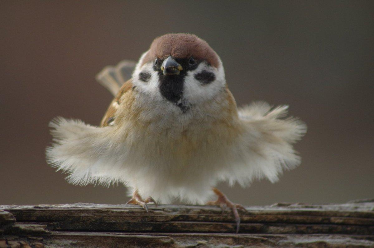 鳥界瑪麗蓮夢露! 攝影師拍下麻雀「掀裙擺跳舞」 3隻一起尬成罕見萌照 - 寵物星人的秘密基地