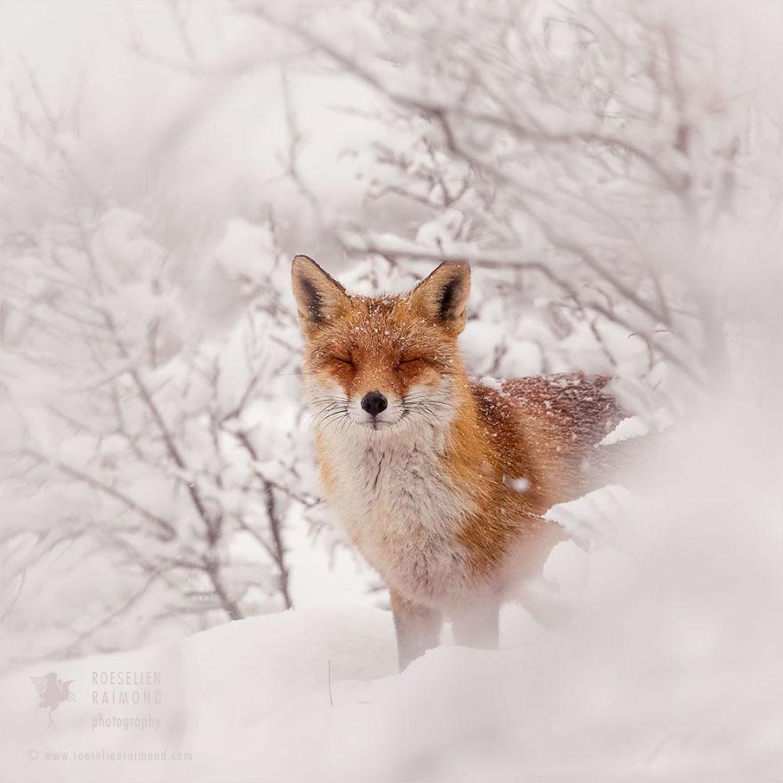 花8年時間一直拍 11張「狐貍享受著漫天白雪」的夢幻美照 - 寵物星人的秘密基地