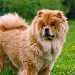 Chow Chow Petplace