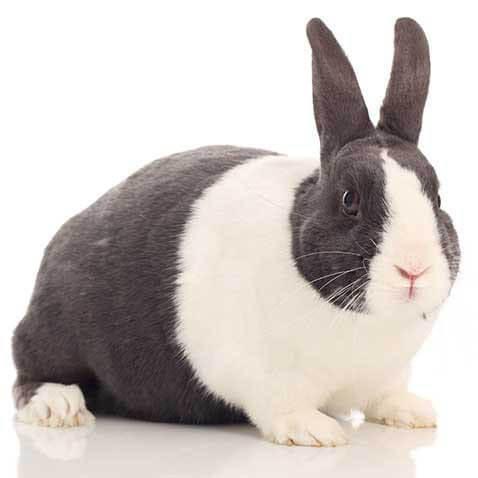 dutch rabbit health facts