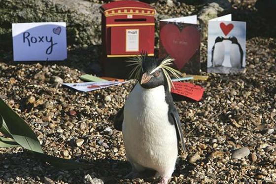 Pinguim 'carente' do zoo de Londres ganha presentes para Dia dos Namorados